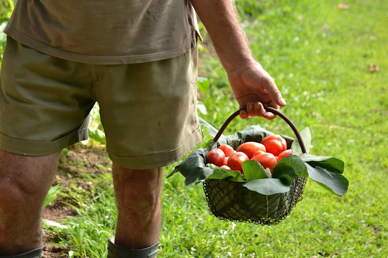 Agricultor con tomates. Foto: Getty