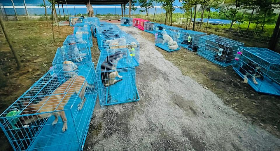 The rescue dogs sit in rows of bright blue cages.