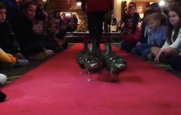 The Peabody duck march is just as famous as Elvis and people flock from all over the world to see it every day. Source: The Peabody Hotel/Instagram
