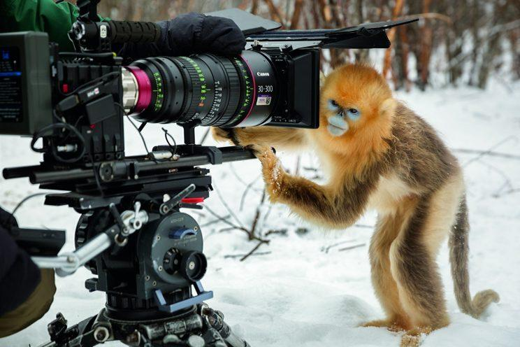 A golden snub-nosed monkey touching a camera.