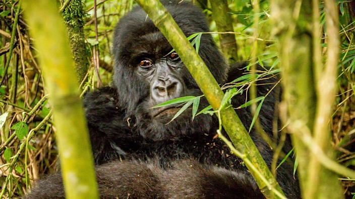 Rwanda is one of the few countries where rare mountain gorillas can be seen