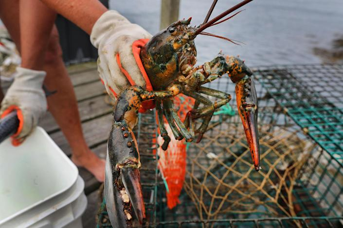 A lobster is removed from a trap at the Sandwich Marina in Sandwich, MA on July 17, 2019. (Photo by John Tlumacki/The Boston Globe via Getty Images)