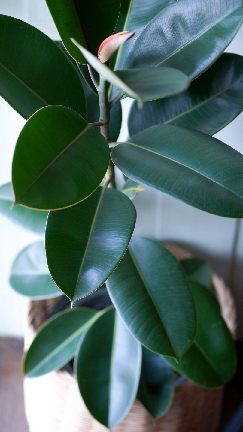 """<p>Serving as a natural humidifier, rubber plants not only look good but they are easy to maintain and can make you feel better overall. Time to fill your home with them...</p><p><a class=""""link rapid-noclick-resp"""" href=""""https://www.primrose.co.uk/-p-130452.html"""" rel=""""nofollow noopener"""" target=""""_blank"""" data-ylk=""""slk:BUY NOW VIA PRIMROSE"""">BUY NOW VIA PRIMROSE</a> </p>"""