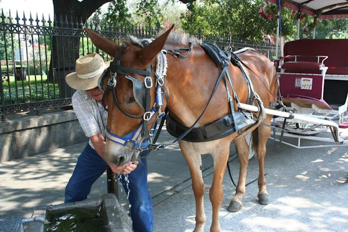 Robert Rotherham gives carriage mule Miss Pierre a drink in New Orleans' French Quarter on Wednesday, June 27, 2012. Although the mule had just pulled a carriage load of tourists on a one-hour tour, her coat was dry, without a trace of sweat. Still, before Rotherham could board more tourists, their workday was at an end. The temperature hit 97 degrees at 10:30 a.m. Wednesday, and a city ordinance keeps the carriages off the street at 95 degrees or more. (AP Photo/Janet McConnaughey)