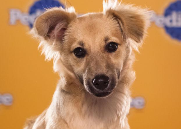 "Willis, a 4-month-old long-haired chihuahua mix, has the ""funniest ears ever."" (Photo by Keith Barraclough/DCL)"