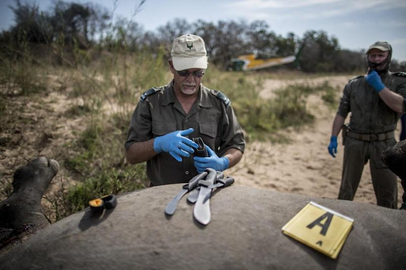 A South African Park authority ranger prepares tools to open the carcass of a poached and mutilated white rhino as forensic investigators collect evidence, at Kruger National Park, on September 12, 2014 (AFP Photo/Marco Longari)