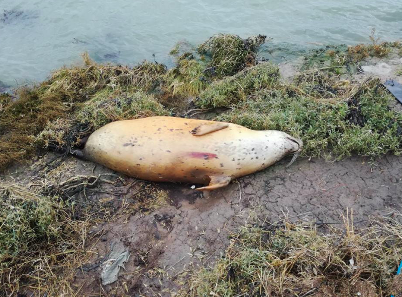 A pregnant seal found dead was shot through the heart (SWNS)