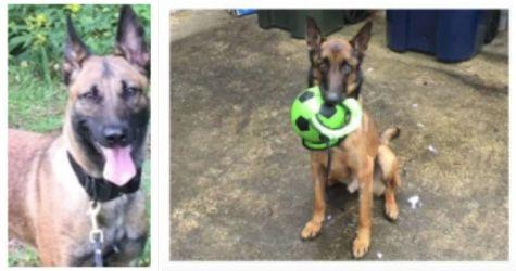 Zoe (left) and Mencey were among the dogs who died after being sent to Jordan as part of a U.S. State Department anti-terrorism program. Zoe died from a heat stroke less than a year after arriving in the country and Mencey died after contracting at least two diseases. (Photo: oversight.gov)