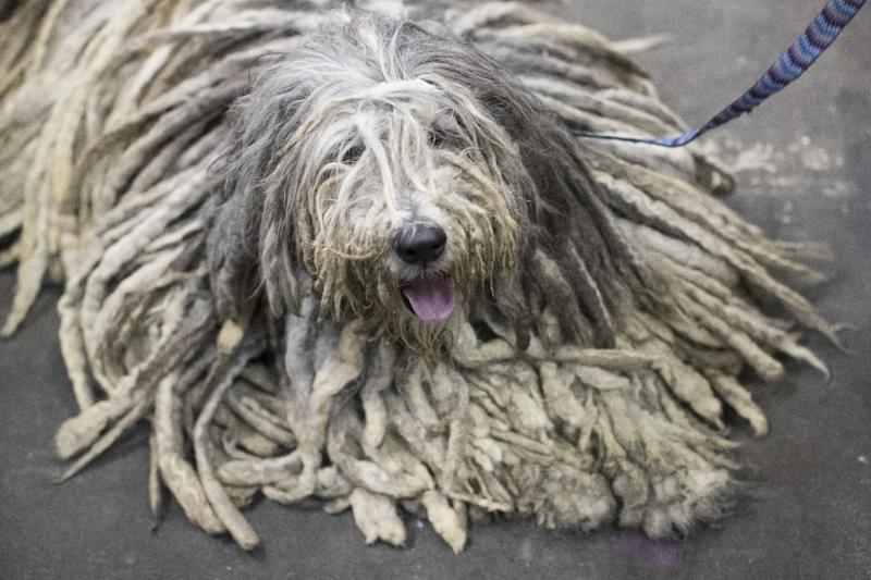 D'Artagnan, a Bergamasco shepherd from Easton, Conn., is seen during the meet the breeds companion event to the Westminster Kennel Club Dog Show, Saturday, Feb. 11, 2017, in New York. (AP Photo/Mary Altaffer)
