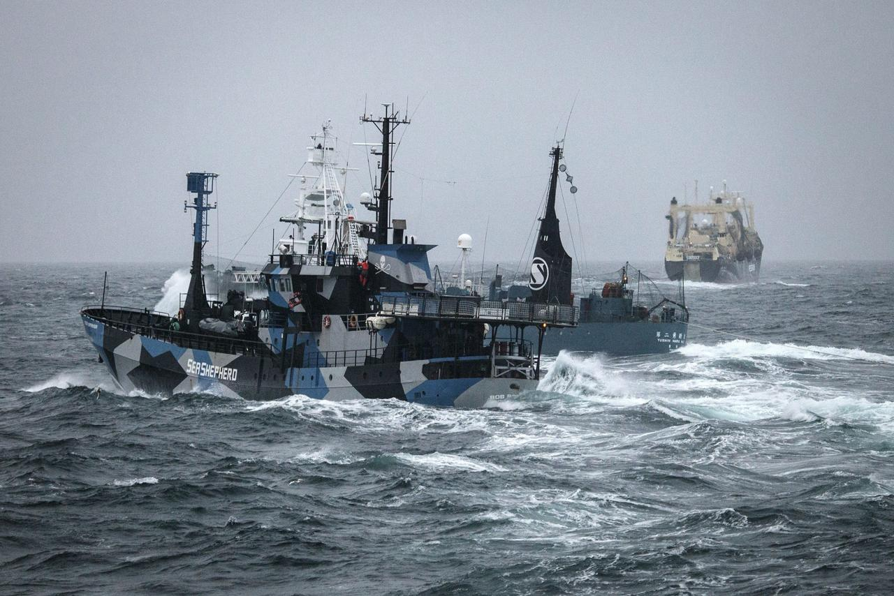 Japanese whaling ship Yushin Maru (C) prevents the Sea Shepherd vessel, the 'Bob Barker' (foreground), from closing in on fellow whaling vessel Nisshin Maru (background) in the Southern Ocean, February 2, 2014, in this handout image taken by the Sea Shepherd Australia Antarctic Whale Defense Campaign. REUTERS/Eliza Muirhead/Sea Shepherd Australia/Handout via Reuters (ANTARCTICA - Tags: CIVIL UNREST ENVIRONMENT MARITIME) ATTENTION EDITORS � THIS IMAGE WAS PROVIDED BY A THIRD PARTY. NO SALES. NO ARCHIVES. FOR EDITORIAL USE ONLY. NOT FOR SALE FOR MARKETING OR ADVERTISING CAMPAIGNS. THIS PICTURE IS DISTRIBUTED EXACTLY AS RECEIVED BY REUTERS, AS A SERVICE TO CLIENTS