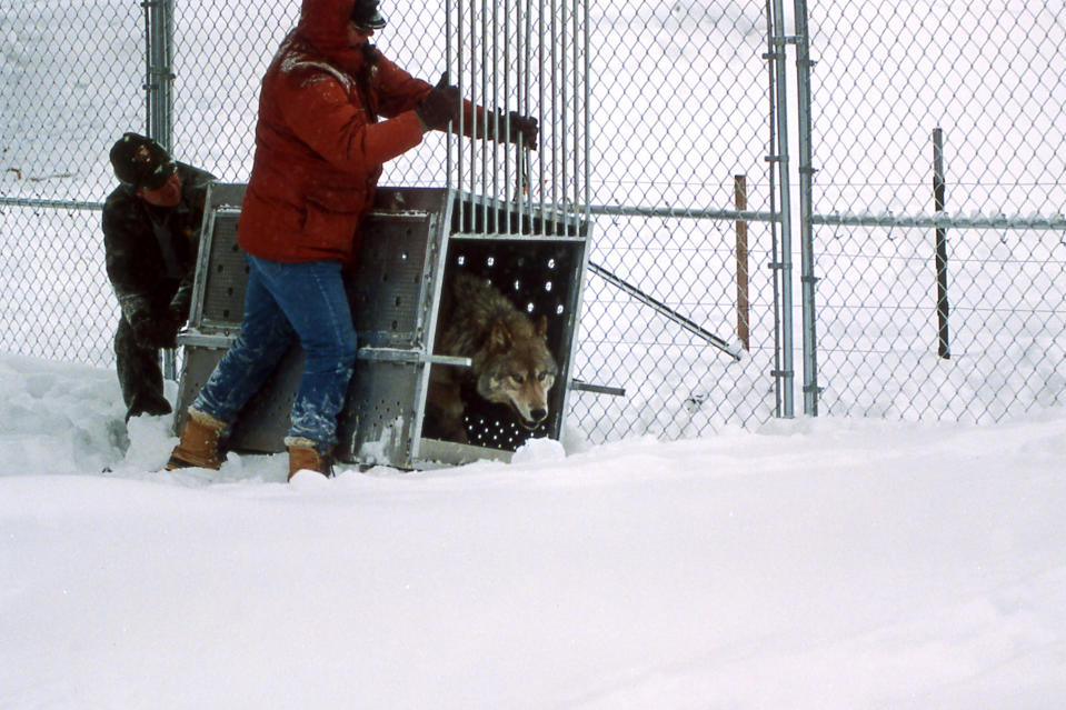In this Jan. 27, 1996, photo provided by the National Park Service, Mike Phillips and John Cook releasing No. 38 in the Rose Creek pen in Yellowstone National Park, Wyo. Wolves have repopulated the mountains and forests of the American West with remarkable speed since their reintroduction 25 years ago, expanding to more than 300 packs in six states. (National Park Service via AP)