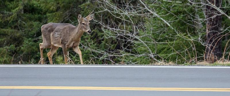 A deer walking along the side of the road in Voyageurs National Park (Minnesota).
