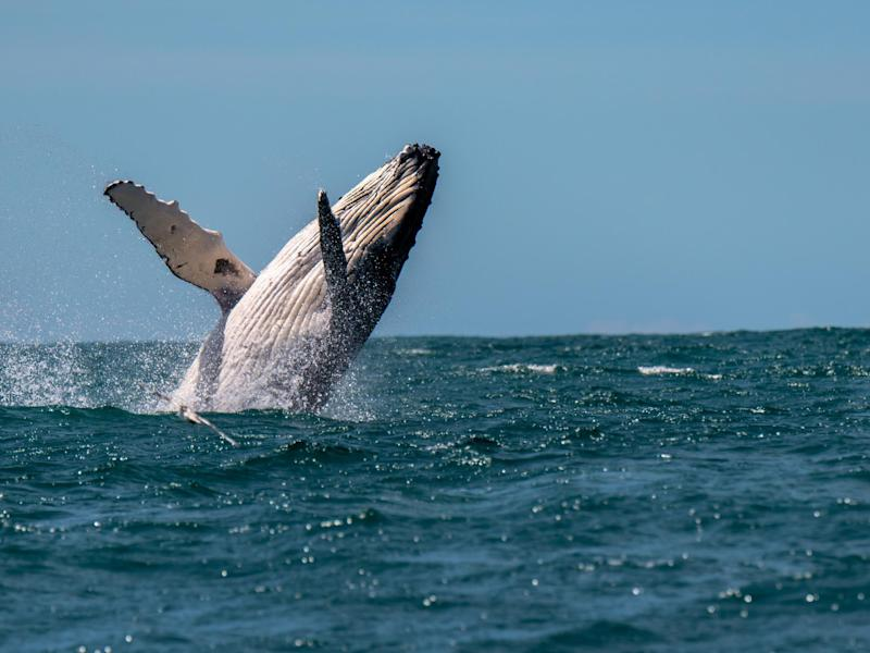 A woman has been injured after being hit by a humpback whale off the coast of Australia: iStock