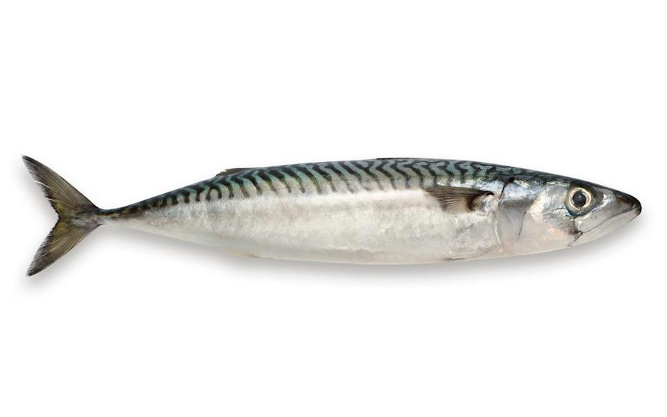 Mackerel have been known to attack humans when they perceive them as a threat - Getty Images