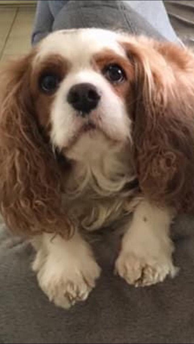 Photo shows Toby, a six-year-old cavalier who died three weeks after his friend Jaxon.