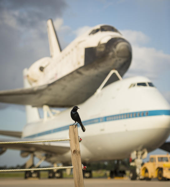 This photo provided by NASA shows a bird near space shuttle Endeavour atop NASA's Shuttle Carrier Aircraft, or SCA, at the Shuttle Landing Facility at NASA's Kennedy Space Center on Monday, Sept. 17, 2012 in Cape Canaveral, Fla. The beginning of Endeavour's final flight to California has been postponed because of weather along the flight route. NASA had planned for the 747 carrying the shuttle to take off from Kennedy Space Center on Monday. (AP Photo/NASA, Bill Ingalls)