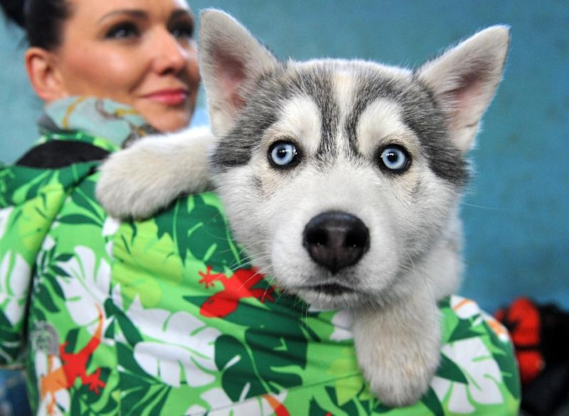 A woman holds a Husky puppy during an exhibition in Kyrgyzstan's capital Bishkek (AFP Photo/Vyacheslav Oseledko)