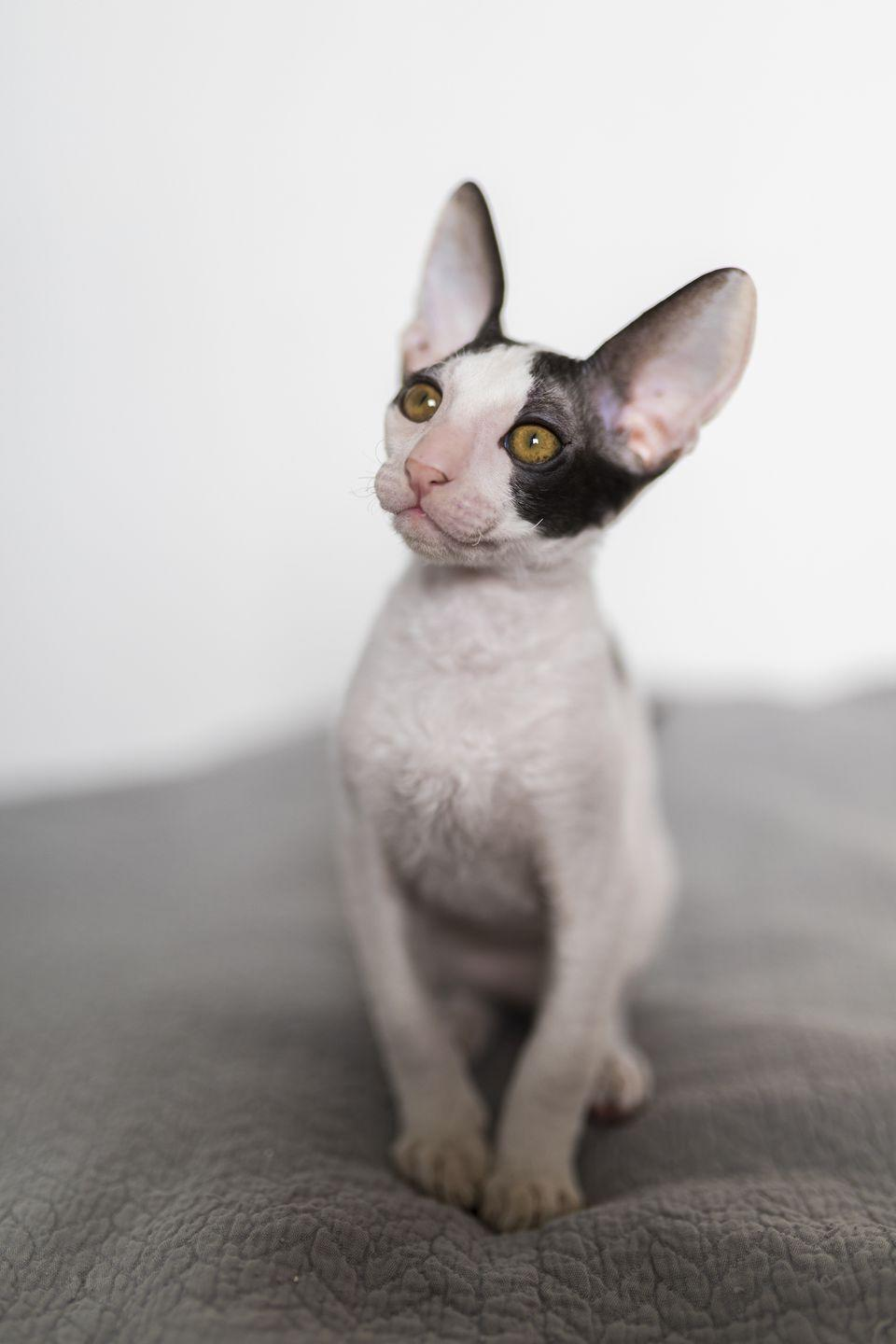 "<p>Don't worry about arriving at work covered in cat hair because, according to The Cat Fancier's Association (CFA), the <a href=""http://cfa.org/breeds/breedscj/cornishrex.aspx"" rel=""nofollow noopener"" target=""_blank"" data-ylk=""slk:Cornish Rex has minimal shedding"" class=""link rapid-noclick-resp"">Cornish Rex has minimal shedding</a>. </p>"