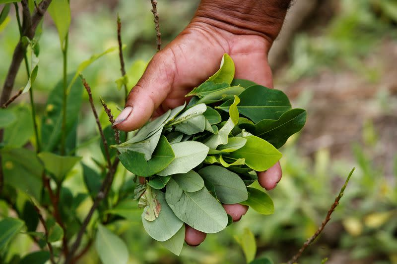 FILE PHOTO: A peasant holds up coca leaves collected from his crops in Cauca
