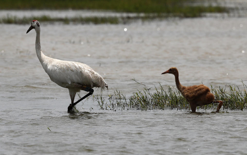FILE - In this June 11, 2018, file photo, a captive-bred whooping crane and its wild-hatched chick forage through a crawfish pond in Jefferson Davis Parish, La. The COVID-19 pandemic means far fewer chicks than usual are being bred in captivity to release in the wild in fall 2020. (AP Photo/Gerald Herbert, File)