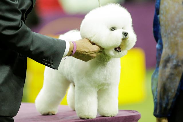Flynn, a bichon frise is judged on the ring before winning the Best in Show at the 142nd Westminster Kennel Club Dog Show in New York, U.S., February 13, 2018. REUTERS/Eduardo Munoz