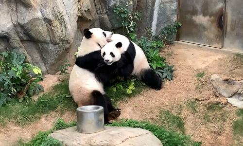 Hong Kong's pandas mate for first time in decade in privacy of coronavirus lockdown