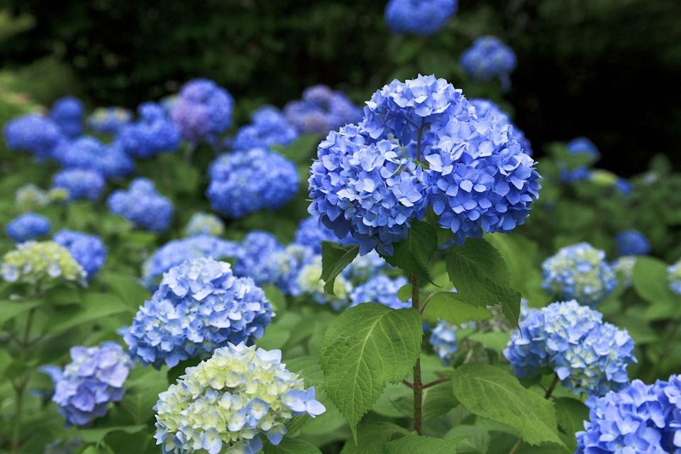 """<p>These big blooms have around <a href=""""https://www.housebeautiful.com/lifestyle/gardening/a3586/13-facts-you-never-knew-about-hyrdangeas/"""" rel=""""nofollow noopener"""" target=""""_blank"""" data-ylk=""""slk:70 species"""" class=""""link rapid-noclick-resp"""">70 species</a>. You can change the color of hydrangeas by <a href=""""https://www.housebeautiful.com/lifestyle/gardening/a27196148/make-hydrangeas-change-color-gardening-tip/"""" rel=""""nofollow noopener"""" target=""""_blank"""" data-ylk=""""slk:changing the pH"""" class=""""link rapid-noclick-resp"""">changing the pH</a> of the soil they're in. They need lots of water, so make sure they're hydrated.</p><p><strong>Bloom season</strong>: Early spring to late autumn.</p><p><a class=""""link rapid-noclick-resp"""" href=""""https://www.amazon.com/Scuddles-Garden-Tools-Set-Gardening/dp/B07621FLPW/ref=sr_1_3_sspa?keywords=gardening+kit&qid=1584129763&sr=8-3-spons&psc=1&spLa=ZW5jcnlwdGVkUXVhbGlmaWVyPUEzRzFTWUVQSTFQTDFRJmVuY3J5cHRlZElkPUEwMDMzOTg2MkVDV0dSUUVSWVlOVyZlbmNyeXB0ZWRBZElkPUEwMTYyMTE3VVZYMUc5OVhJTDY1JndpZGdldE5hbWU9c3BfYXRmJmFjdGlvbj1jbGlja1JlZGlyZWN0JmRvTm90TG9nQ2xpY2s9dHJ1ZQ%3D%3D&tag=syn-yahoo-20&ascsubtag=%5Bartid%7C10050.g.36596951%5Bsrc%7Cyahoo-us"""" rel=""""nofollow noopener"""" target=""""_blank"""" data-ylk=""""slk:SHOP GARDENING KIT"""">SHOP GARDENING KIT</a></p>"""