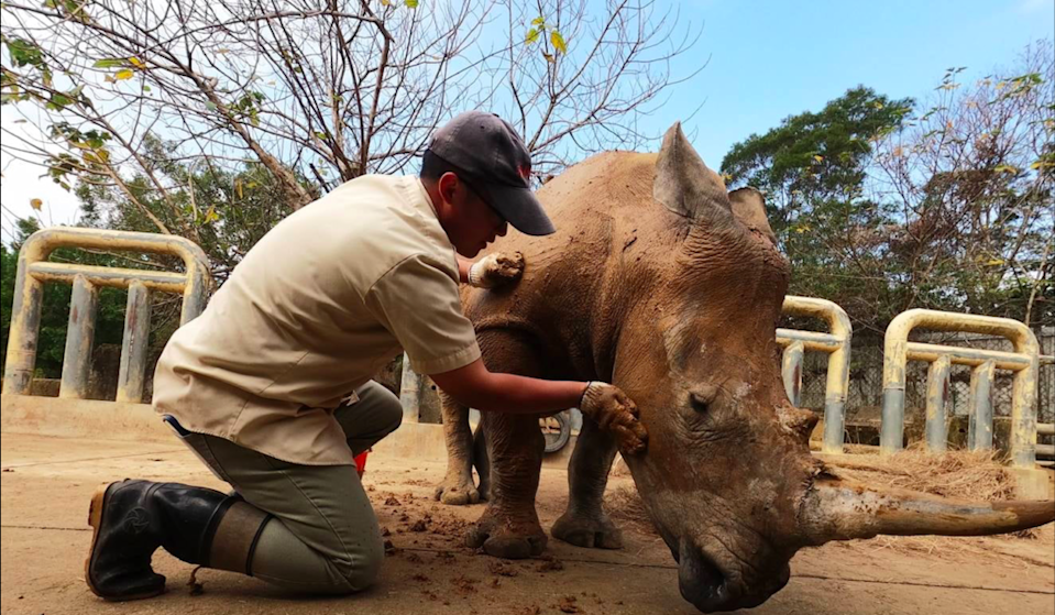 Five-year-old Emma is preparing for love overseas, becoming the first rhino in Taiwan to be sent abroad for breeding. (Photo courtesy of Chuang Foo Foundation)