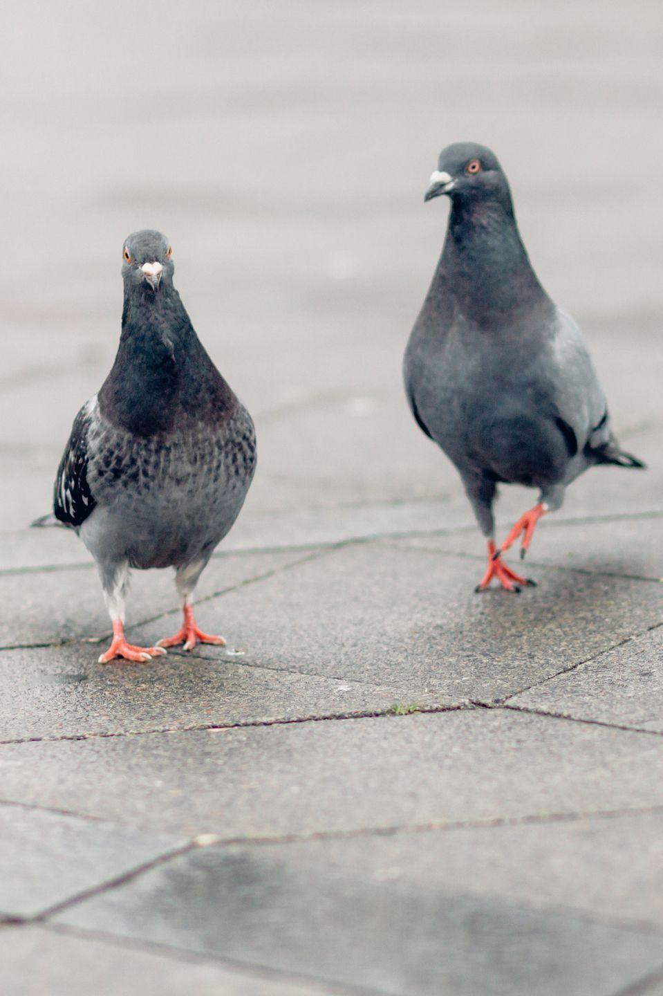 <p>Male pigeons help to incubate the eggs laid by their female partners from mid-morning to late afternoon, while the females take over in late afternoon and overnight to mid-morning. Both parents (who mate for life) help feed their young when they're born by regurgitating a milky liquid.</p>