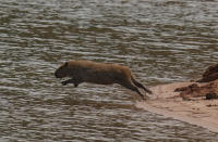 A capybara jumps into the Jaguari dam, which is part of the Cantareira System, responsible for providing water to the Sao Paulo metropolitan area, in Braganca Paulista, Brazil, Wednesday, Aug. 25, 2021. Water levels plunged during the drought season, bringing concerns about the water supply to the largest Brazilian metropolitan area. (AP Photo/Andre Penner)