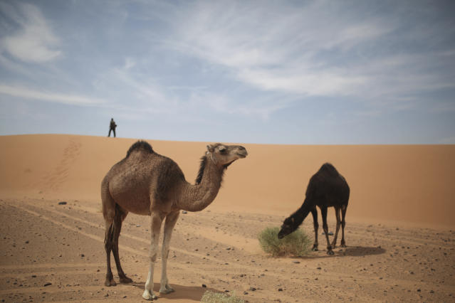Camels graze near a checkpoint as competitors nearby take part in the 33rd edition of Marathon des Sables, in the Sahara desert, near Merzouga, southern Morocco, Thursday, April 12, 2018. (AP Photo/Mosa'ab Elshamy)
