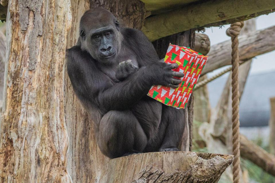 """<p>ZSL London Zoo made a special delivery to their gorilla pals — wrapped """"Christmas presents"""" that the animals enjoy playing with, plus exposure to some Christmas music (their top pick? """"All I Want for Christmas Is You,"""" just like everyone else). </p>"""