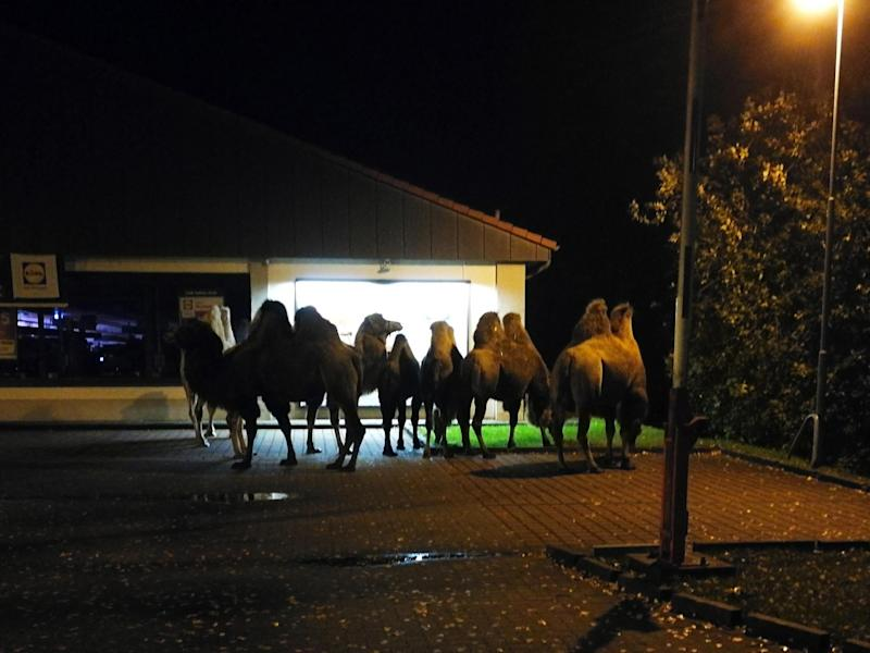 Six camels were found near a closed Lidl shop in Germany: @Polizei_CE