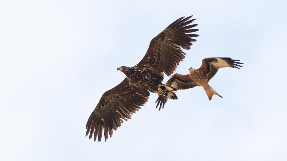 One of the eagle is seen with a red kite in Norfolk as the class of 2019 explored England in the summer (Tim Smith/PA)
