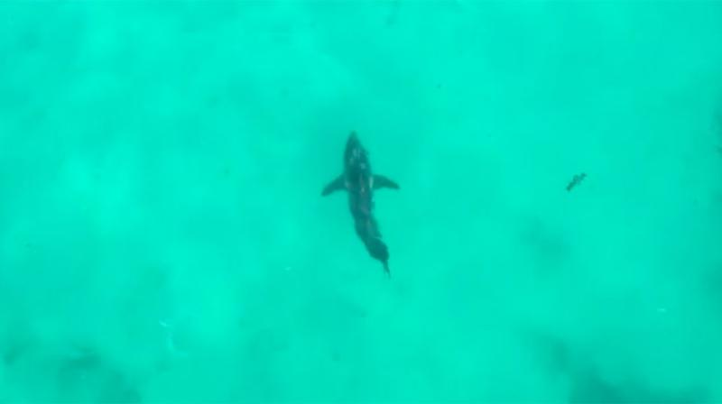 A four-metre Great White Shark was spotted in the area just moments before he was bitten. Source: 7 News
