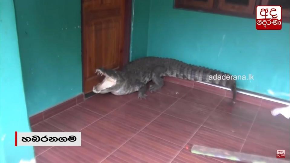 A still from the video of rescuers attempting to control an aggressive crocodile that entered a home (Screengrab/ Newswire)