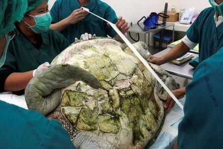 Thai veterinarians prepare to operate on Omsin, a 25 year old femal green sea turtle, to remove coins from her stomach at the Faculty of Veterinary Science, Chulalongkorn University in Bangkok
