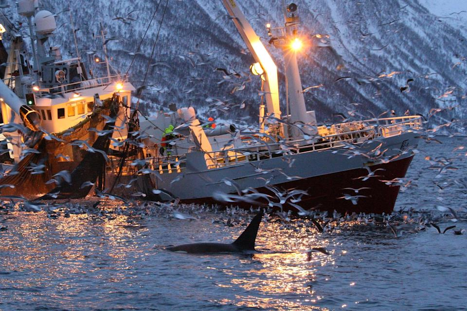 Research says ocean warming could be bringing whales closer to fishing communities (Getty Images/iStockphoto)
