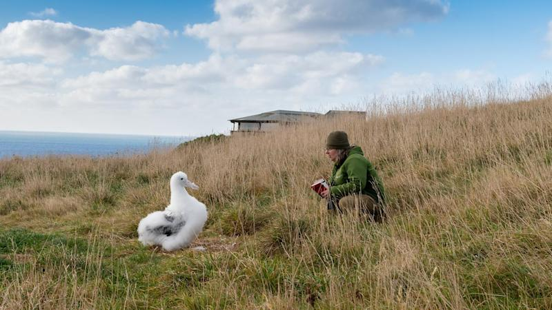 NZ ROYAL ALBATROSS CHICK
