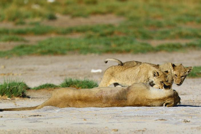 A lioness plays with her cubs by the Okondeka water hole. (Photo: Gordon Donovan/Yahoo News)