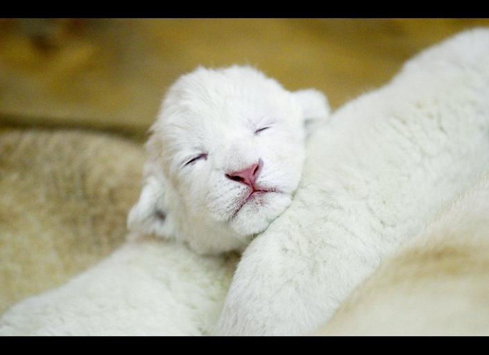 A three-day-old white lion cub sleeps in Belgrade Zoo, Serbia, Wednesday, April 20, 2011. The four white lions cubs, an extremely rare subspecies of the African lion were recently born in Belgrade Zoo.
