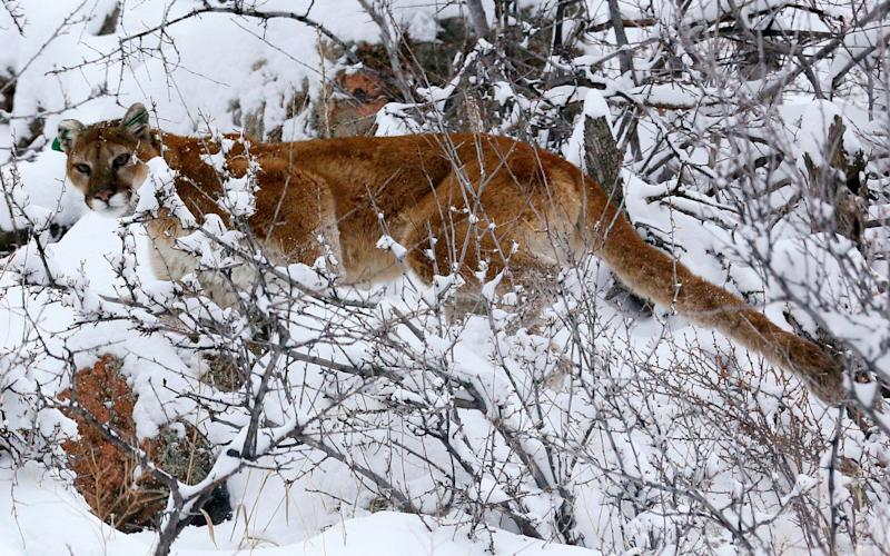 A mountain lion makes its way through fresh snow in the foothills outside of Golden, Colorado - REUTERS