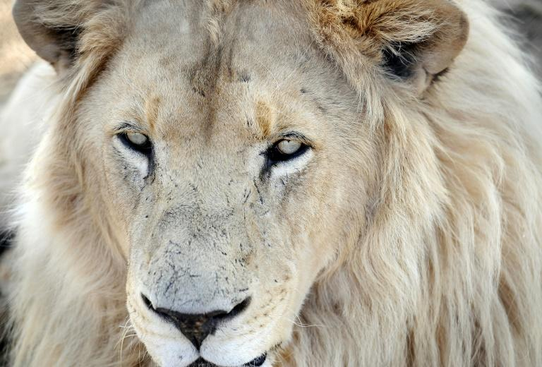'Canned hunting' involves the hunt for wild animals that are kept in an area from which they cannot escape, with some animals even bred for such commercial operations