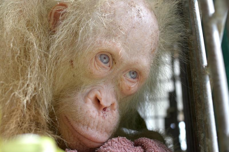 This handout picture taken on April 30, 2017 by the Borneo Orangutan Survival Foundation shows a rare albino orangutan that was saved from villagers on the Indonesian side of Borneo island (AFP Photo/HANDOUT)