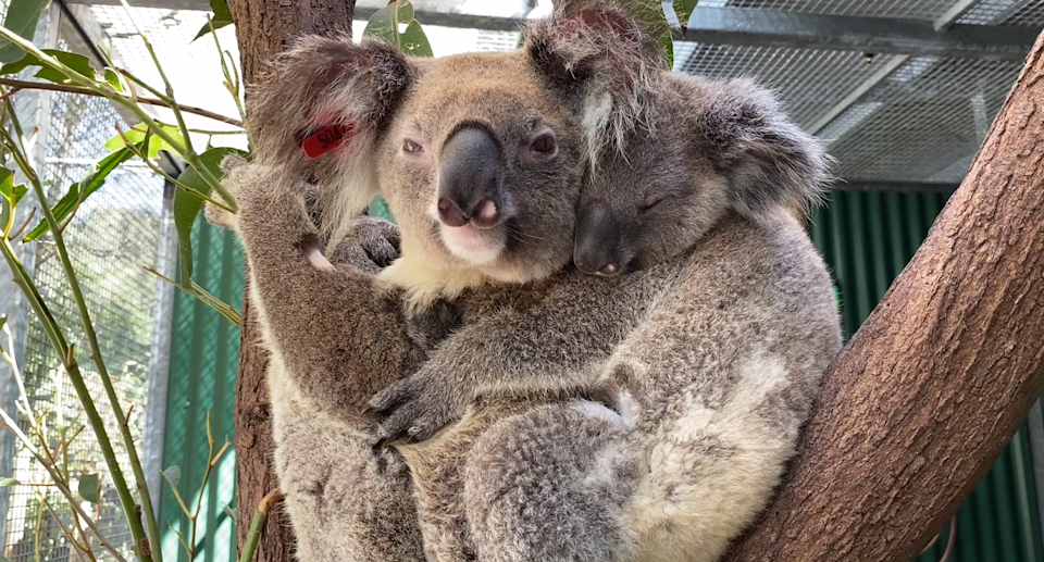 A koala with chlamydia in a tree with her baby.