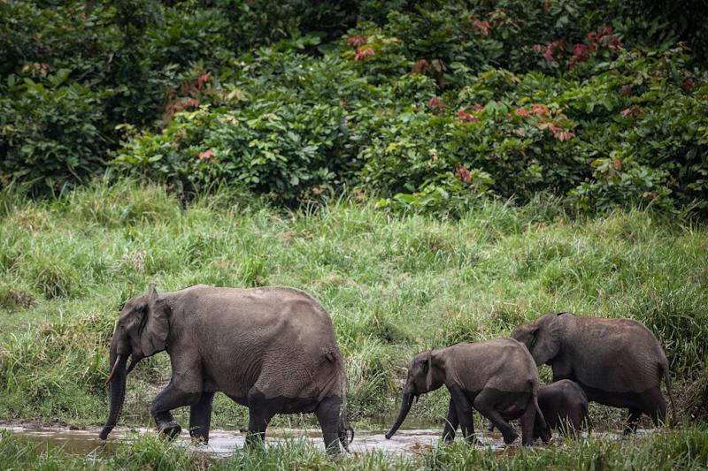 Trunk call: Forest elephants are one of the treasures in Gabon's national parks (AFP Photo/Amaury HAUCHARD)