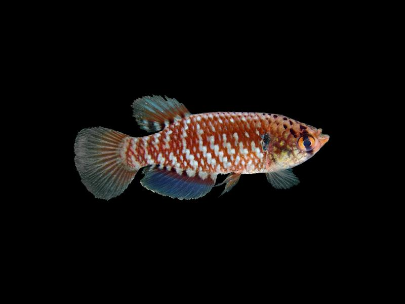 A new species -- like this fish -- is discovered in the Amazon area, spread over nine South American countries, every two days on average