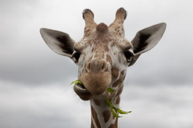 The giraffe (Giraffa camelopardalis) is an African even-toed ungulate mammal, the tallest of all land-living animal species, and