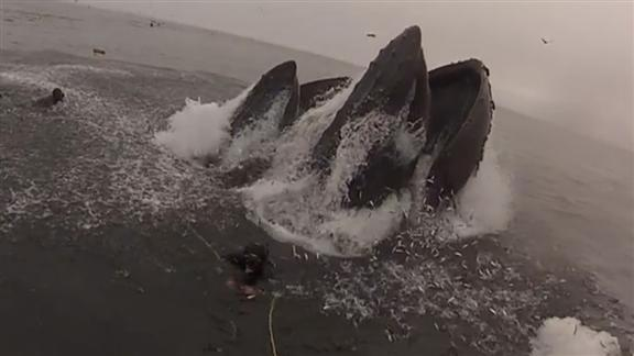 Take cover! The moment pair of unaware divers are almost swallowed by two 40-ton WHALES