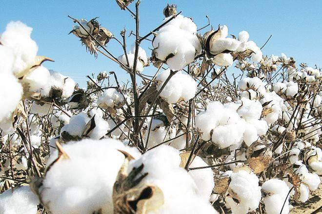 Cotton yield may touch new low but not a cause of concern
